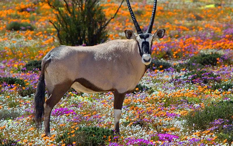 Tierkommunikation mit einer Onyxantilope