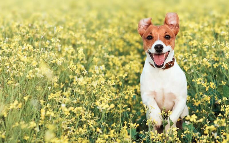 Tierkommunikation mit einem Jack Russel Terrier