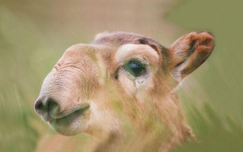 Tierkommunikation mit einer Saiga-Antilope