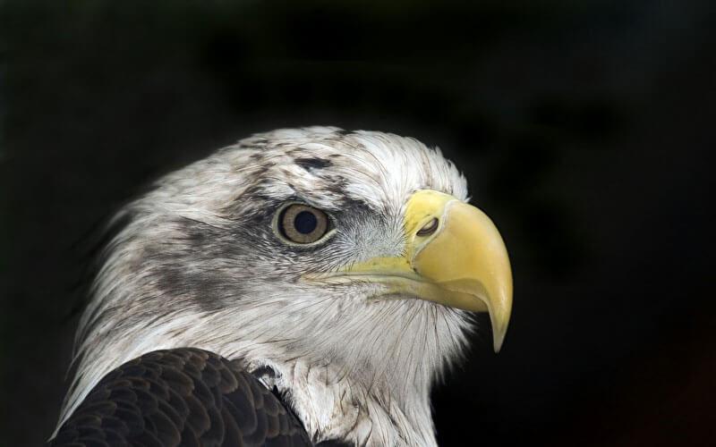 Tierkommunikation mit einem Weisskopf-Seeadler