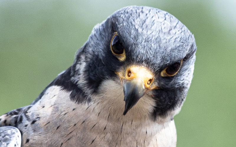 Tierkommunikation mit einem Falken