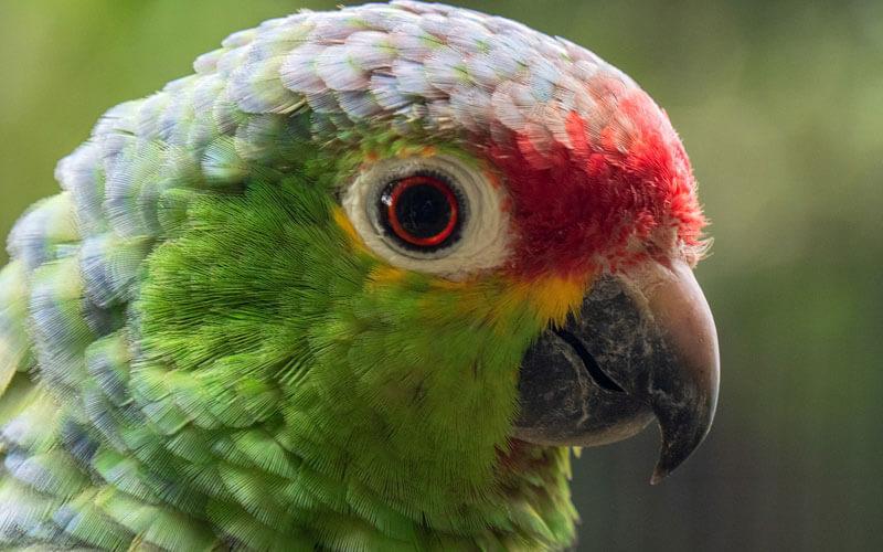Tierkommunikation mit einem Amazonenpapagei