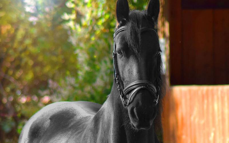 Tierkommunikation mit einem Friesen-Pferd