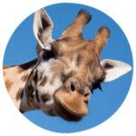 Tierkommunikation mit einer Giraffe
