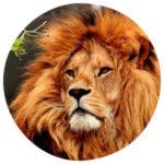 Tierkommunikation mit einem Löwen