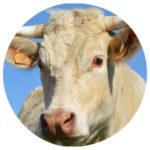 Tierkommunikation mit einer Kuh