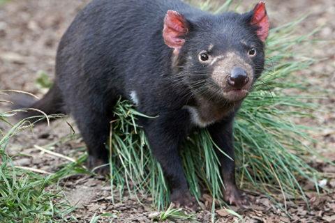 Tierkommunikation mit einem tasmanischen Teufel