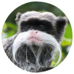 Tierkommunikation Kaiserschnurrbarttamarin