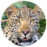 Tierkommunikation mit einem Leoparden
