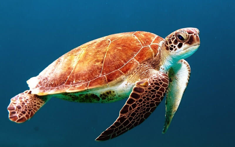 Tierkommunikation mit einer Meeresschildkröte