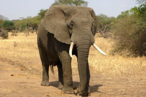 Tierkommunikation Elefant