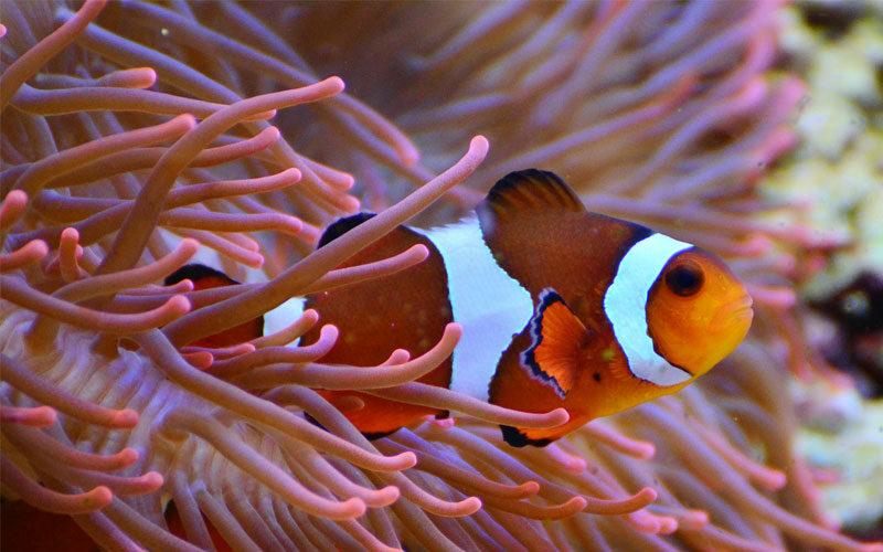 Tierkommunikation mit einem Anemonenfisch