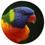 Tierkommunikation mit einem Regenbogen-Lori