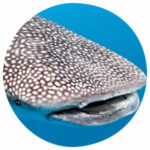 Tierkommunikation mit einem Walhai