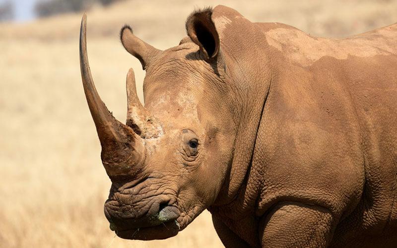Tierkommunikation mit einem Nashorn