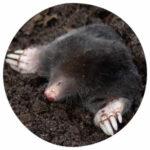 Tierkommunikation mit einem Maulwurf